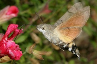 facilites baha ammes garden humming bird hawk moth